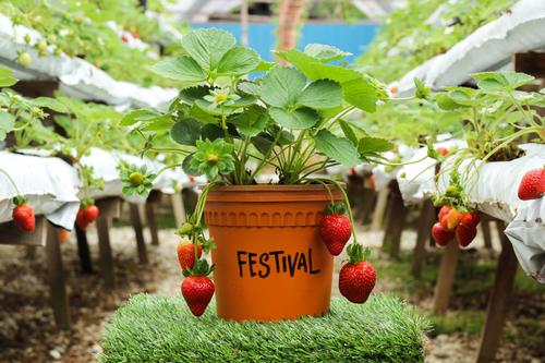 Festival type Strawberry
